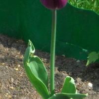 tulipan o ciemnej barwie.