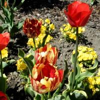 Tulipan 'Paradise Mountain'