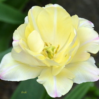 Tulipan pełny, bez nogi