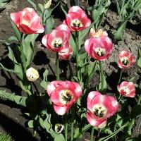 Tulipan  'Serano'