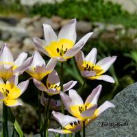 Tulipan skalny
