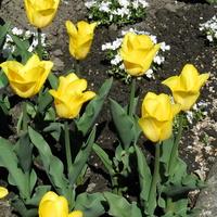 Tulipan 'Sunny Prince'