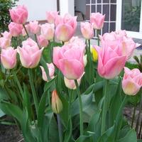 Tulipany Dynastia