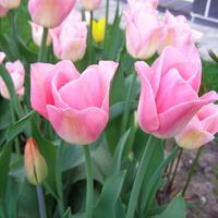 Tulipany Dynastia...