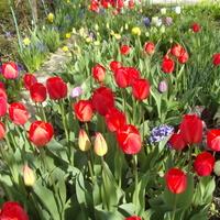 Tulipany gromadnie...