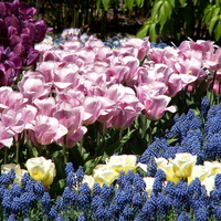 Tulipany i szafirki