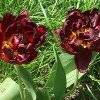 tulipany o bardzo ciemnej barwie.