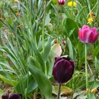 Tulipany w różnych kolorach