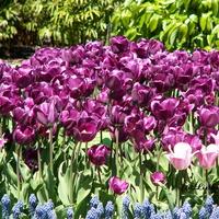 Tulipany....