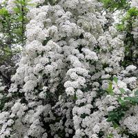 Tysiące białych kwiatów
