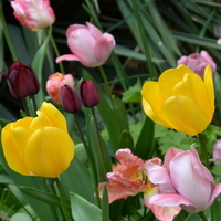 U mnie zaczynają więdnąć tulipany