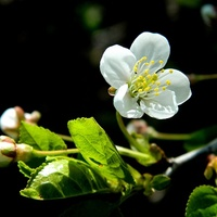 Urok kwitnącego drzewa:)