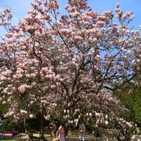 W magnoliowym raju