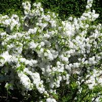 Wiśnia gruczołkowata 'Alboplena'