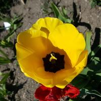 Świeżutki tulip...