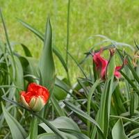 Wysoki biały tulipan