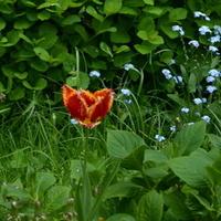 Zagubiony tulipan.
