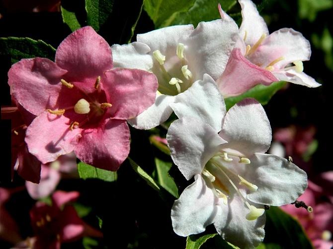 Białe i różowe na jednym krzewie:)