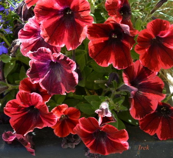 Czerwone petunie