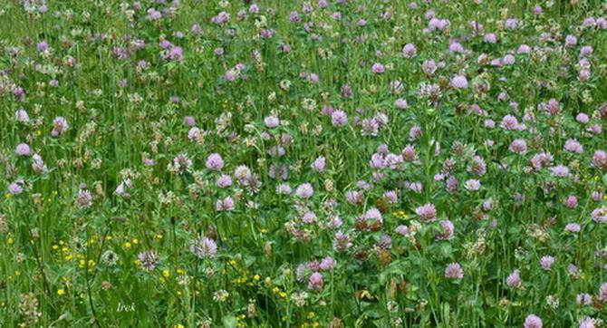 Dużo koniczyny w trawniku