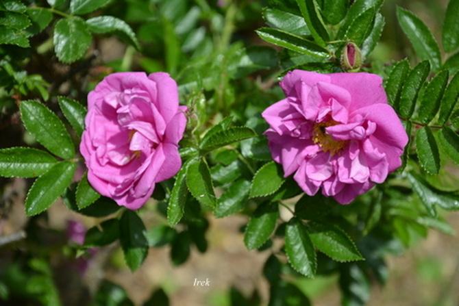 Dwie róże ...