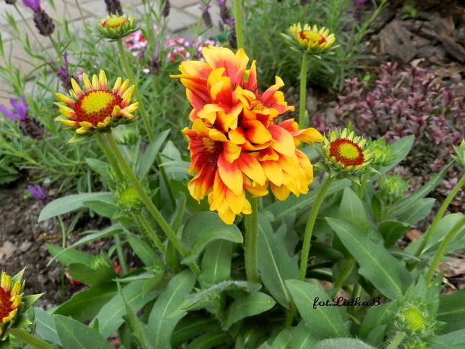 Gajlardia , dwa kwiaty .....