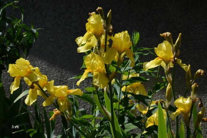 Irysy żółte