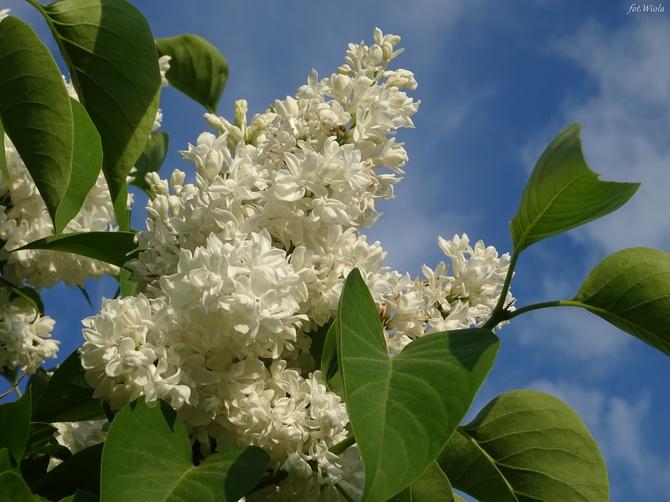 Jeszcze kwitną i pachną