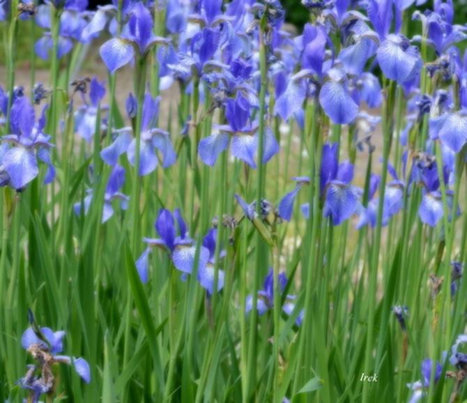 Kosaćce niebieskie