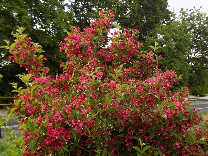 Krzewuszkowe kwitnienie :)