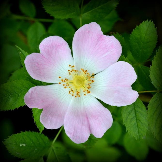 Kwiat róży z bliska