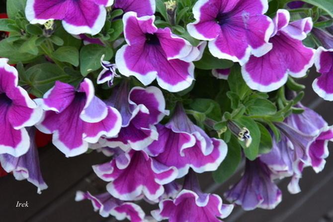 Kwiatki z falbankami