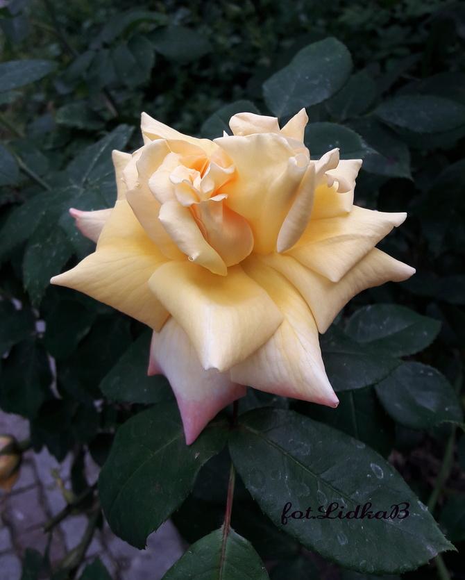 Kwitną róże