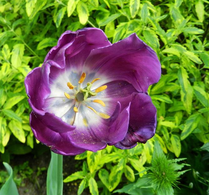 Ostatni tulipan w moim ogrodzie
