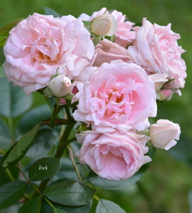 Pęczek róż