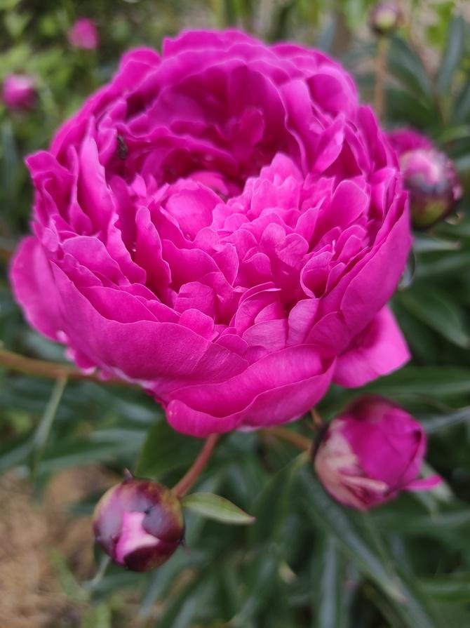 Piwonia (Paeonia L.)