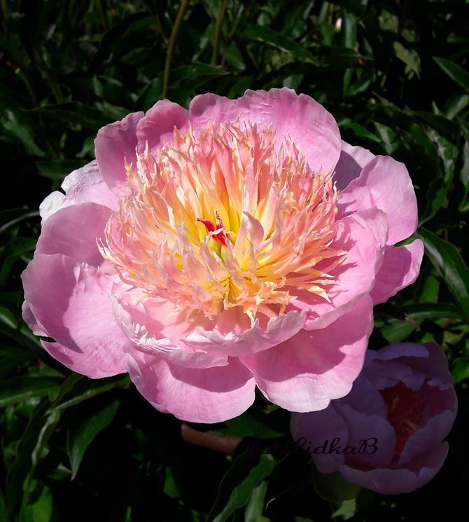 Piwonia różowa