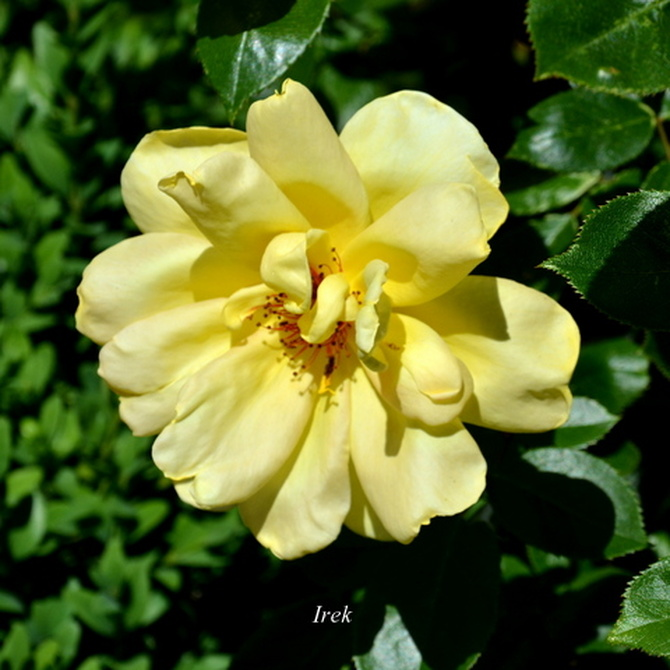 róża z bliska.