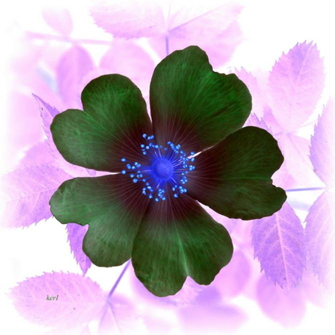 Róża z poprzedniego zdj. w odwróconych barwach