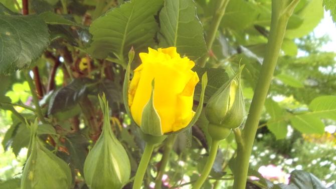Róże niespiesznie zaczynają.