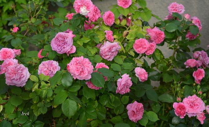 Róże o jednej barwie