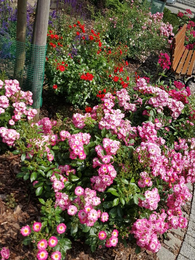 Róże Róż w Mieście.....