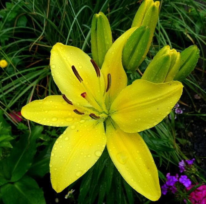 Sezon liliowy u mnie otwarty :)