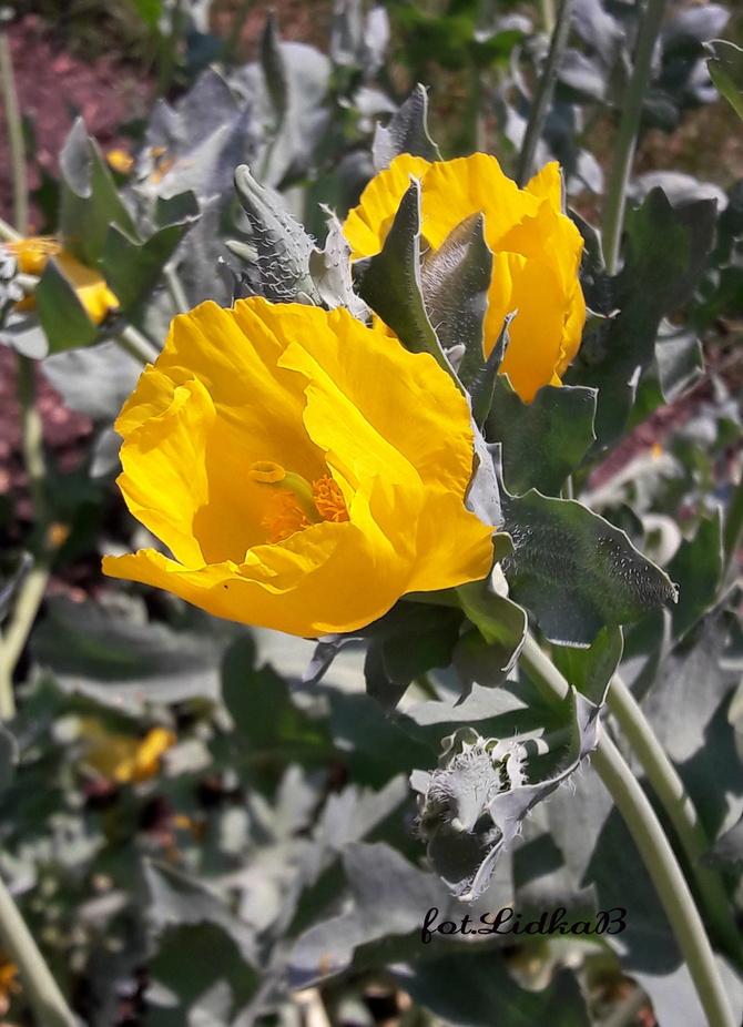 Siwiec żółty