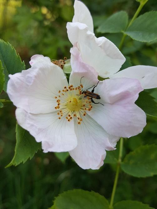 Smakosz różany