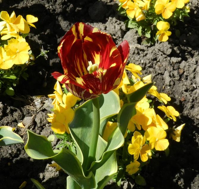 Tulipan i bratki