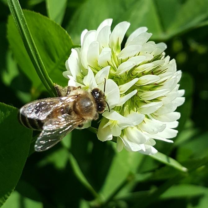 W koniczynie pszczoła...