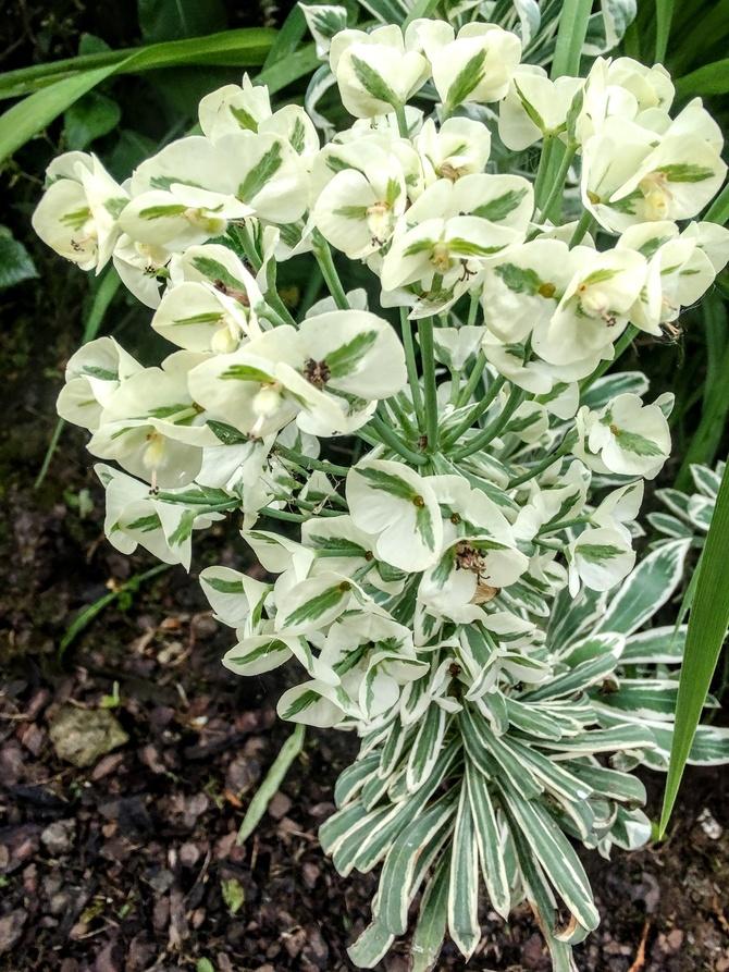 Wilczomlecz błękitnawy (Euphorbia characias Host.)