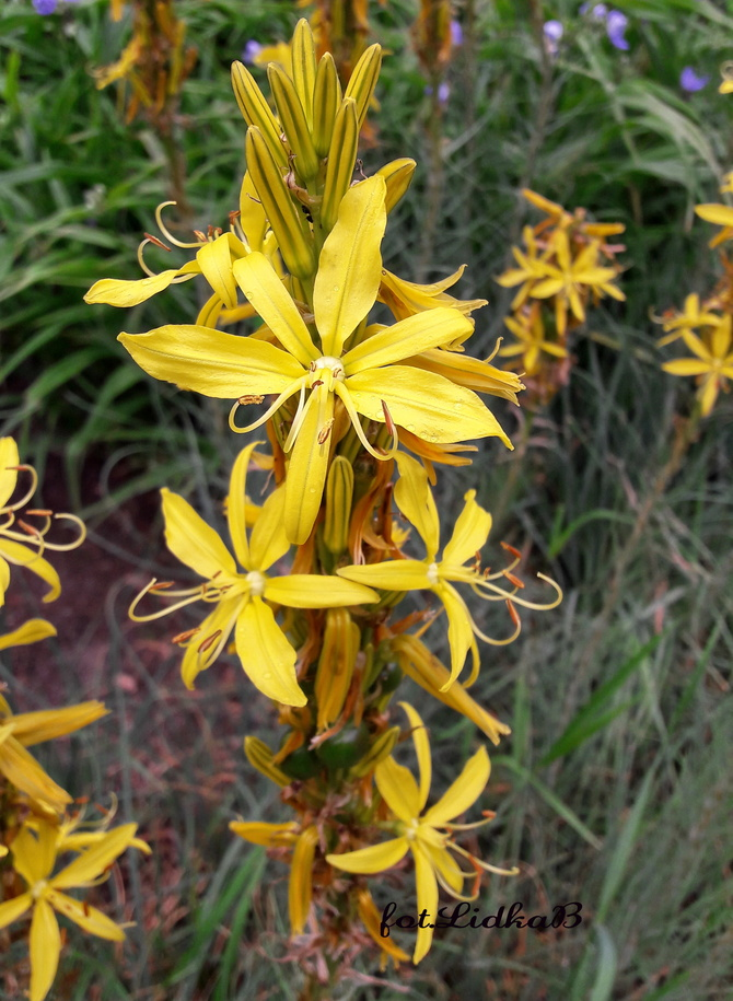 Złotnica żółta