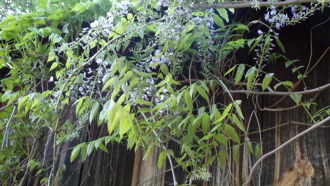Zakwitła wisteria ,nie podejrzewałam